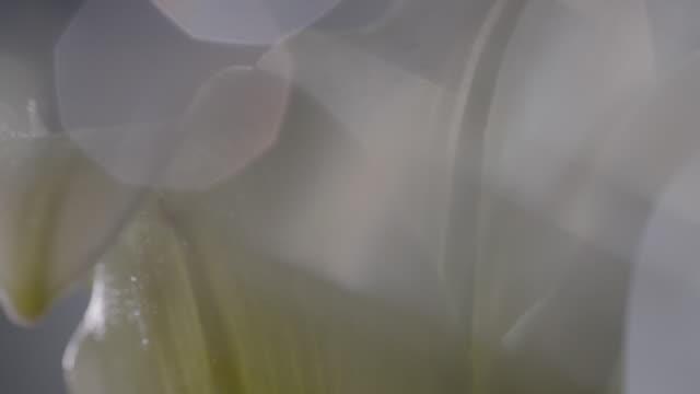 macro shot of a lili flower - weiß stock-videos und b-roll-filmmaterial