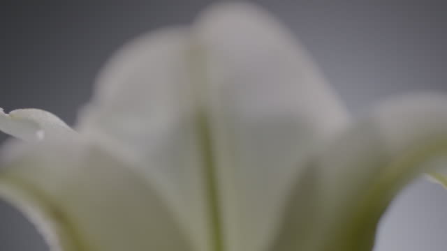 macro shot of a lili flower - lily stock videos & royalty-free footage