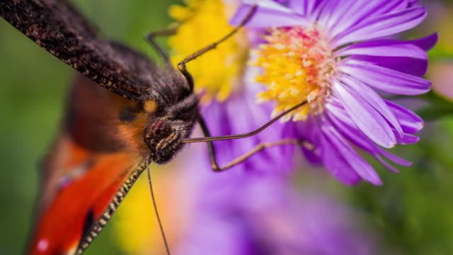 Makroaufnahme einer Tagpfauenauge sammeln Pollen - Zeitlupe