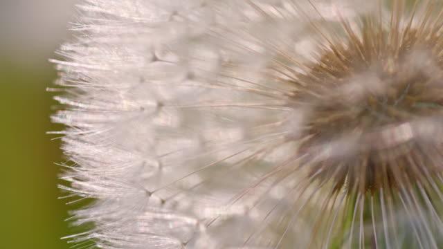 Macro shot of a white dandelion
