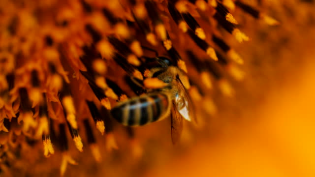 Macro shot of bee collecting sunflower