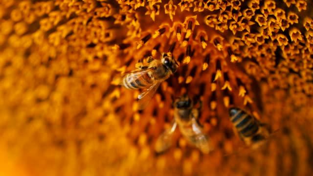 stockvideo's en b-roll-footage met macro-opname van bijen verzamelen zonnebloem - honingbij