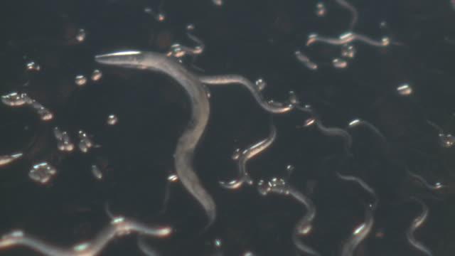 T/L Macro shot of Caenorhabditis elegans feeding on lawn of bacteria (Escherischia coli OP50)
