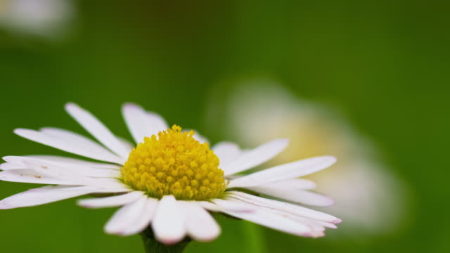 macro shot of daisy flower head - daisy stock videos & royalty-free footage
