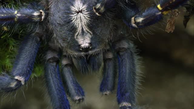 Macro shot of Gooty Sapphire Ornamental Tree Spider's head.