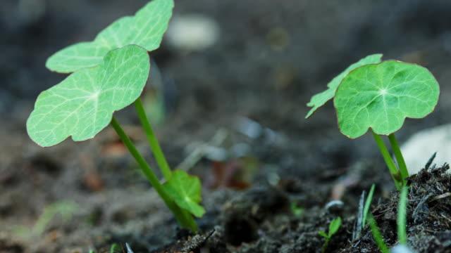 macro shot of nasturtium shoots in soil. - 園芸学点の映像素材/bロール