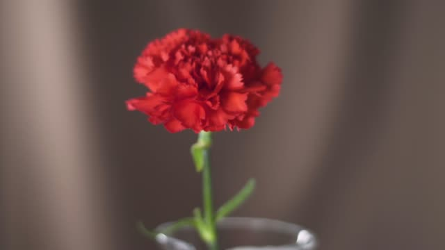 Macro Shot of Red Carnation Flower in 4K Resolution