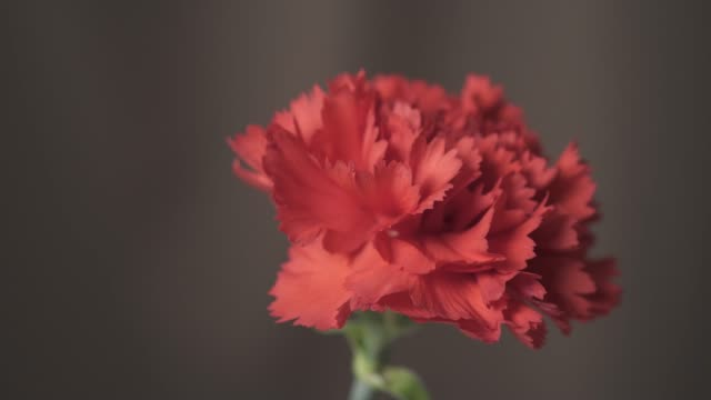 macro shot of red carnation flower in 4k resolution - carnation flower stock videos & royalty-free footage