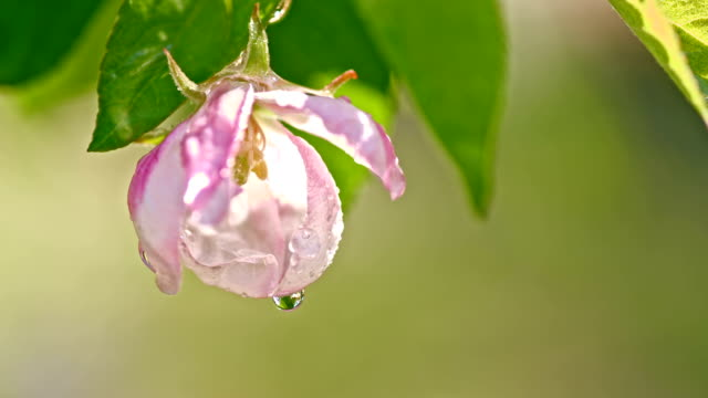 slo mo macro shot of the wet apple blossom - flower head stock videos & royalty-free footage