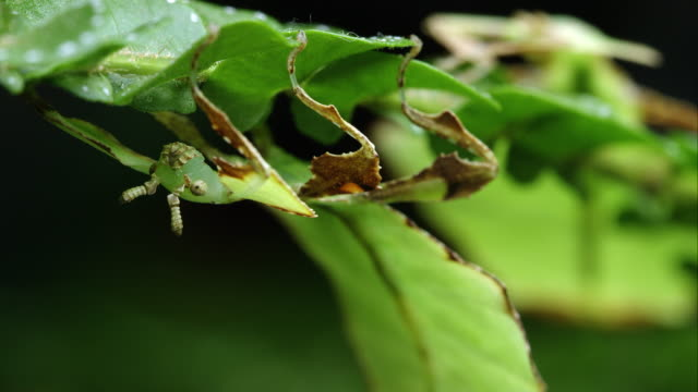 Macro shot with shallow depth of field of two Giant Leaf Insects on leaves.
