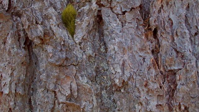 vídeos de stock, filmes e b-roll de macro texture bark slider mt. hood oregon cascades 43 - casca de árvore