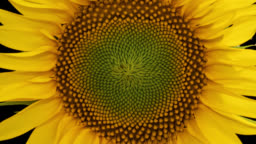 Macro time lapse opening Sunflower Head, isolated on pure black background