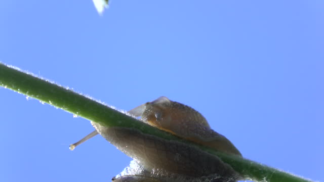 macro uhd video of snail walking on plant branch - selimaksan stock videos & royalty-free footage