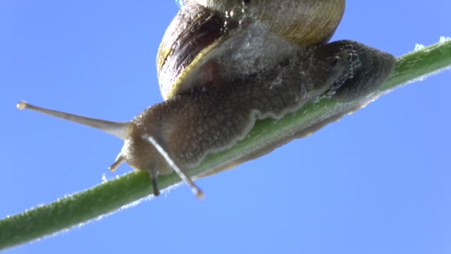 macro uhd video of snail walking on plant branch - snail stock videos & royalty-free footage