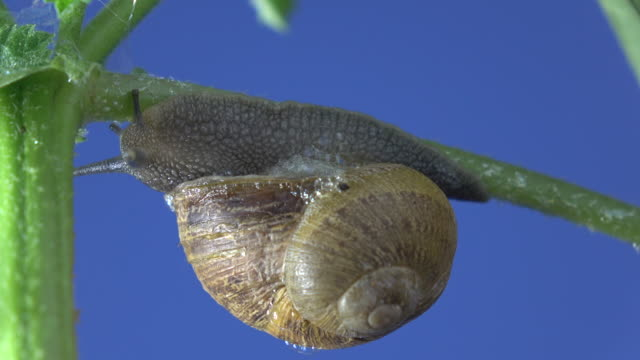 Macro UHD Video Of Snail Walking On Plant Branch