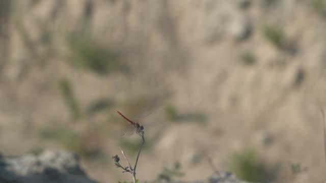 hd makro video av trollslända i naturen - selimaksan bildbanksvideor och videomaterial från bakom kulisserna