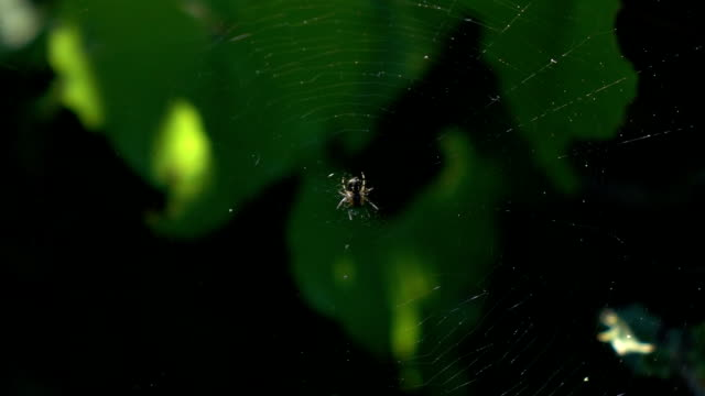 Macro Video Of Spider On Its Web