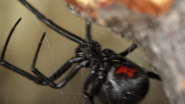 macro view of black widow spider showing red hourglass on abdomen - black widow spider stock videos & royalty-free footage