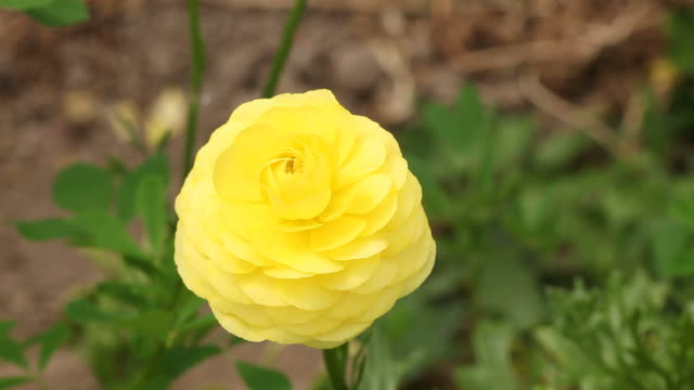 Macro view of ranunculus flower