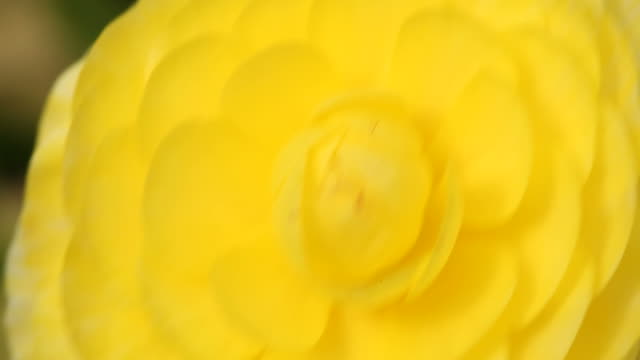 Macro view of yellow color ranunculus flower
