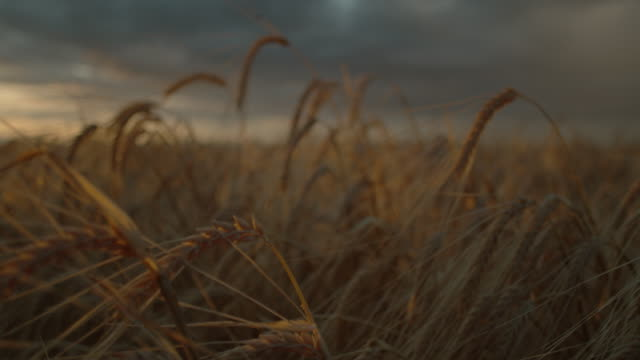 macro wheat field at sunset - dolly push in - push in stock videos & royalty-free footage