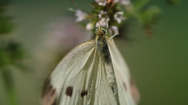 macro cu, white cabbage butterfly spreads it's wings while pollinating a mint flower - cabbage stock videos and b-roll footage