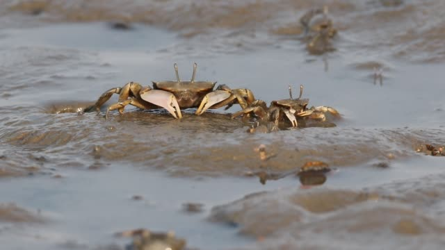 macrophthalmus japonicus eat at mud flat of jiaozhou bay on october 20, 2019 in qingdao, shandong province of china. - crab stock videos & royalty-free footage