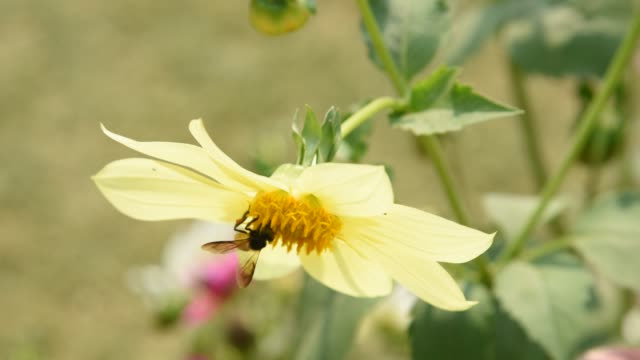 macro-shot of a honey bee gathering pollen from a flower. - pollen grain stock videos & royalty-free footage