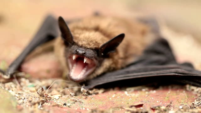 mad bat - mammal stock videos & royalty-free footage