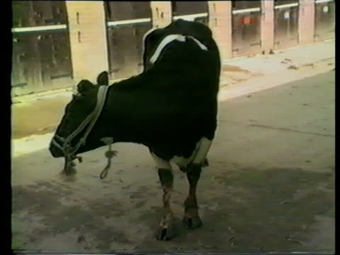Brussels Talks ITN LIB Location Unknown MS Sick cow by feeding trough CMS Cow standing tossing head from side to side SCOTLAND Edinburgh University...
