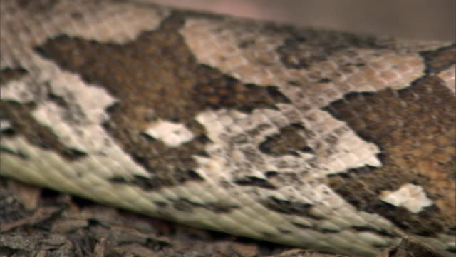 madagascan ground boa snake (acrantophis madagascariensis), madagascar - brown stock videos & royalty-free footage