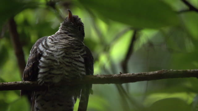 madagascan lesser cuckoo (cuculus rochii) chick in forest, madagascar - cuckoo stock videos and b-roll footage