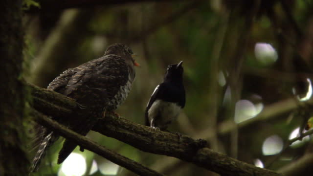 madagascan magpie robin (copsychus albospecularis) feeds madagascan lesser cuckoo (cuculus rochii) chick in forest, madagascar - cuckoo stock videos and b-roll footage