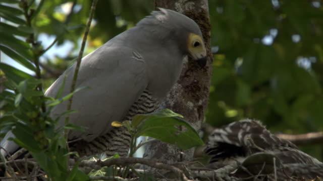 vídeos de stock, filmes e b-roll de madagascar harrier hawk (polyboroides radiatus) and chick on nest, madagascar - ave de rapina