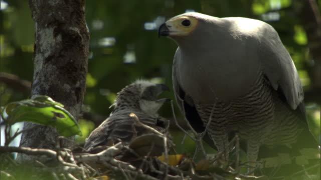 madagascar harrier hawk (polyboroides radiatus) feeds chick on nest, madagascar - 猛禽点の映像素材/bロール