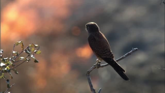 madagascar kestrel (falco newtoni) and wild fire, madagascar - animal themes stock videos & royalty-free footage