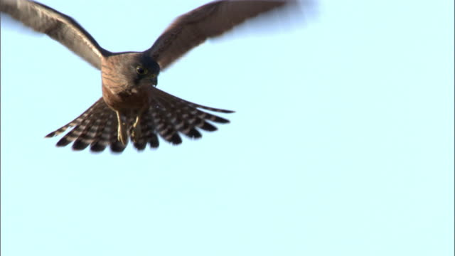 madagascar kestrel (falco newtoni) hovers, madagascar - hovering stock videos & royalty-free footage