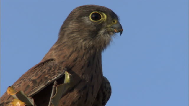 Madagascar kestrel (Falco newtoni) takes off from tree, Madagascar