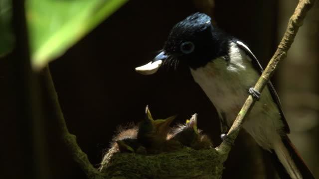 madagascar paradise flycatcher (terpsiphone mutata) feeds chicks in nest in forest, madagascar - 気にかける点の映像素材/bロール