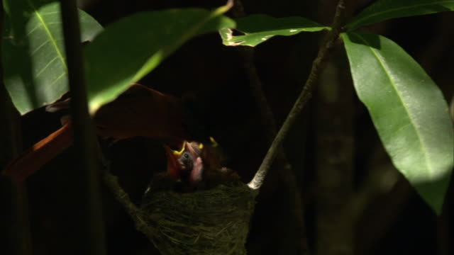 madagascar paradise flycatcher (terpsiphone mutata) feeds chicks in nest in forest, madagascar - vier tiere stock-videos und b-roll-filmmaterial