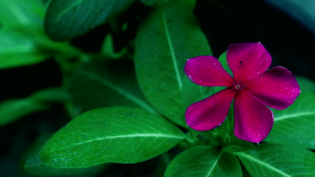 madagascar periwinkle flower in the garden - number 5 stock videos & royalty-free footage