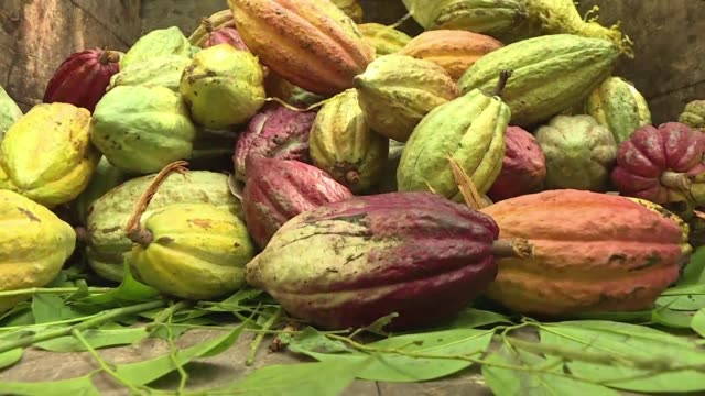 Madagascar produces 7000 tons of cocoa every year which is highly sought after for its 100 percent fine cocoa quality