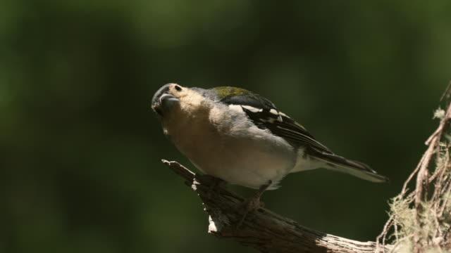 madeira - little bird - madeira stock videos and b-roll footage