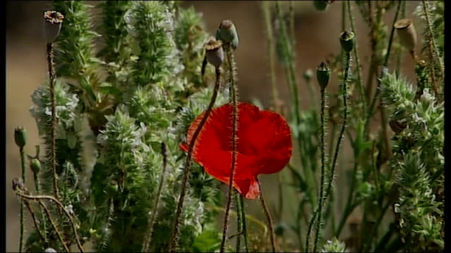 parents maintain hope tx local british residents' search party searching through undergrowth including close up of red poppy - missing persons stock videos & royalty-free footage