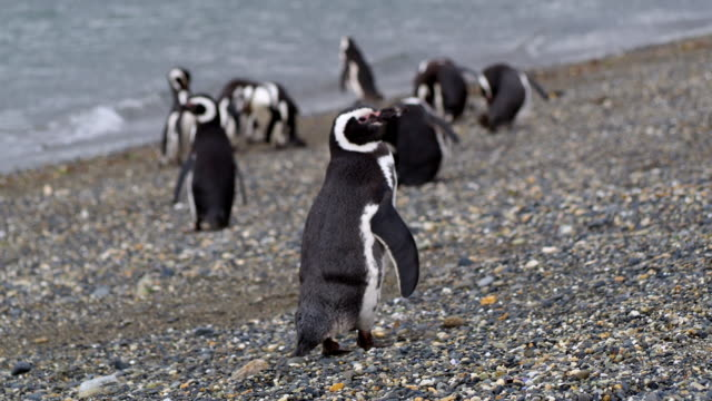 magellan penguins in isla martillo near ushuaia, patagonia - argentina stock videos & royalty-free footage