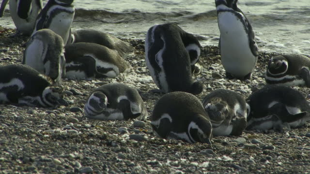 WS ZO Magellan Penguins (Spheniscus magellanicus) on beach / Punta Arenas, Magallanes, Chile