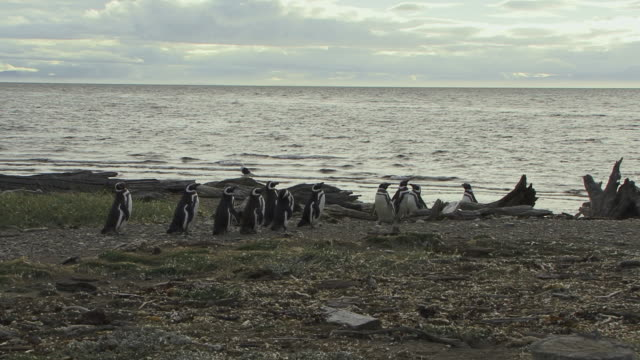 WS Magellan Penguins (Spheniscus magellanicus) on beach / Punta Arenas, Magallanes, Chile