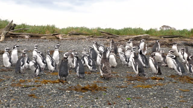 magellanic penguin colony in patagonia, close up - zoology stock videos & royalty-free footage