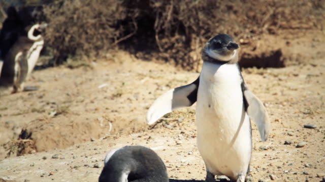 magellanic penguin flapping his wings - provinz chubut stock-videos und b-roll-filmmaterial