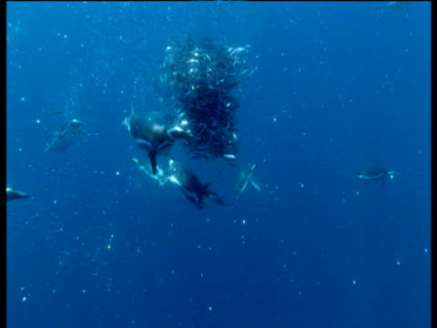 Magellanic penguins and dusky dolphins attack and eat bait ball of anchovies